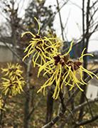 マンサクの花・・(万作 満作 金縷梅)
