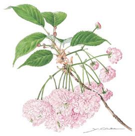 <p>ボタニカルアート・太田洋愛の桜原画展<br /> ~荒川ゆかりの桜を中心に~</p>