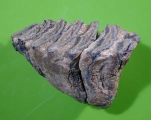 <p>写真:ナウマンゾウ臼歯化石(産地:寄居町)<br /> (所蔵:埼玉県立自然の博物館)</p>