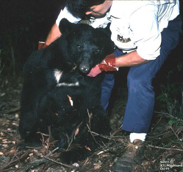 捕獲されたクマ
